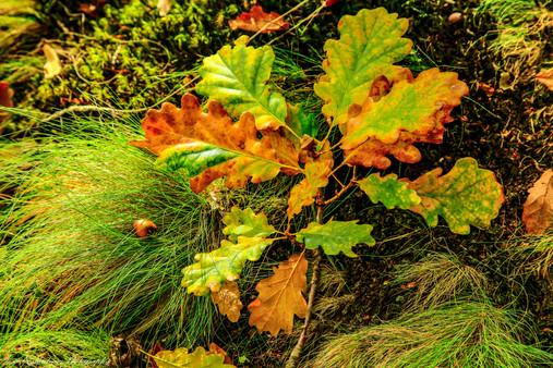 Dartmoor oak leaves
