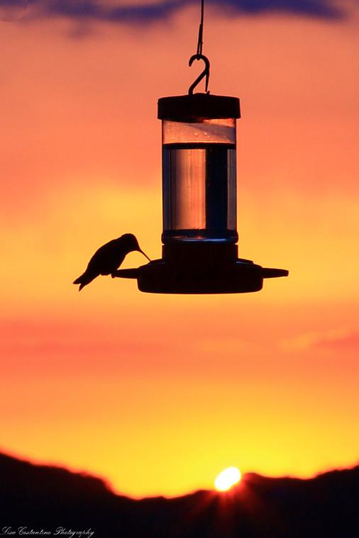 Hummingbird at sunset