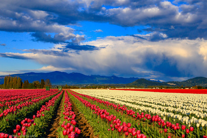 Stormy skies over tulips