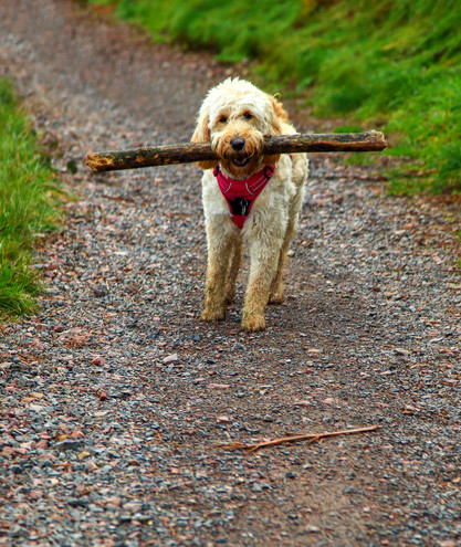 A dog and her branch, Malvern Hills