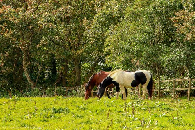 Tintagel horses
