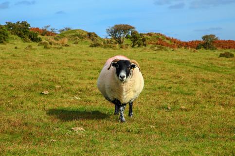 Curious ram on Bodmin Moor