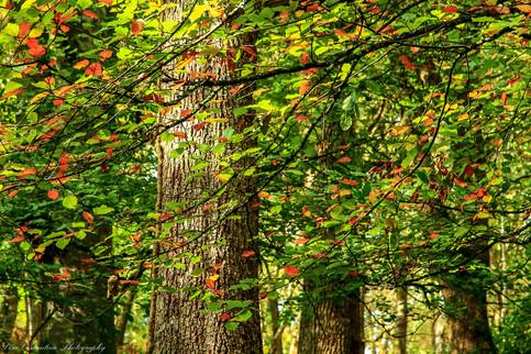 Leaves against tree trunks, Dartmoor