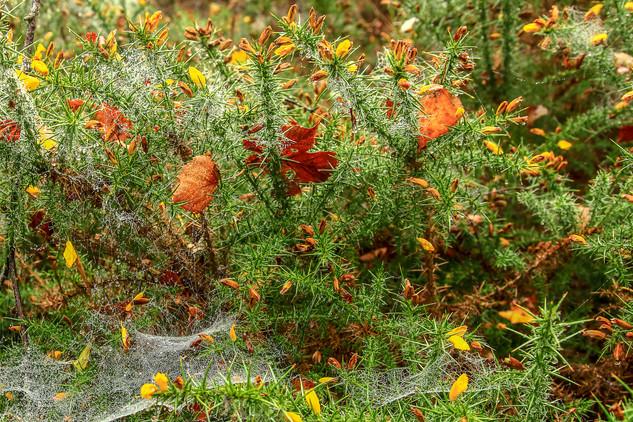 Spider webs on gorse, Malvern Hills
