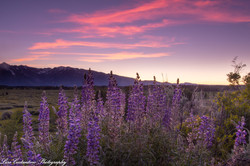 Lupines at dusk