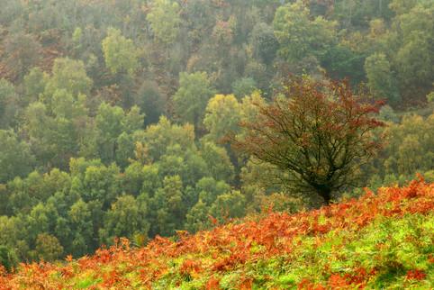 Lone rowan in the bracken, Malvern Hills