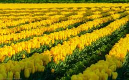 Dappled tulips