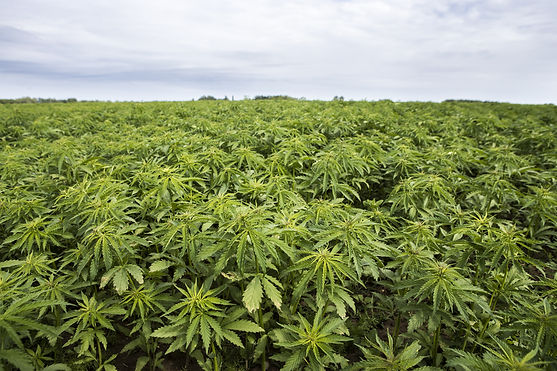 Industrial hemp plantation.jpg