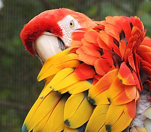 Red and yellow parrot