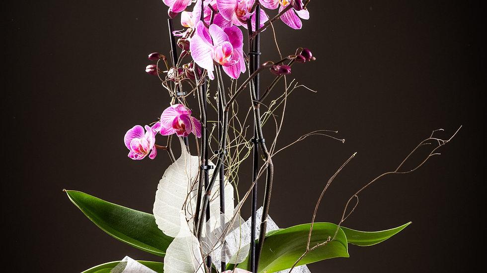 O1 Prachtvolle, färbige Orchidee im Glastopf