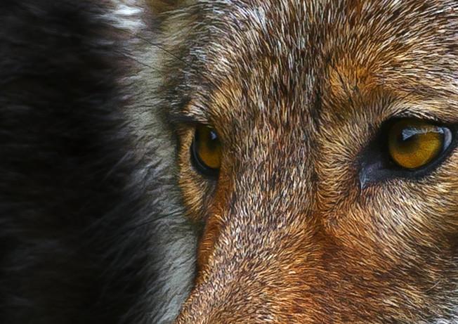 Wolf Eyes Black