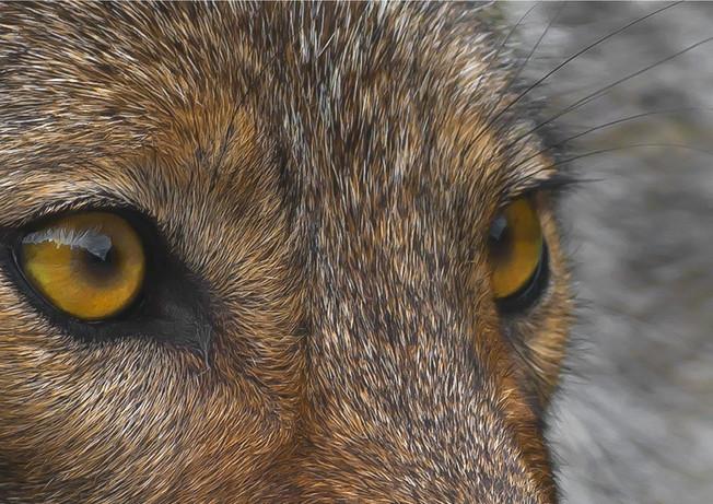Wolf Eyes Gray