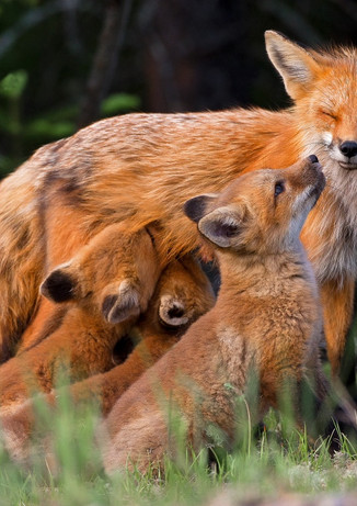 Fox Family Meal Time