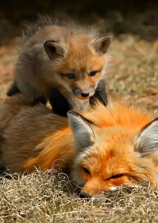Fox Kit On Mom