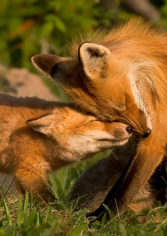 Nuzzling Foxes