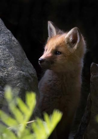 Hide and Seek Fox Kit