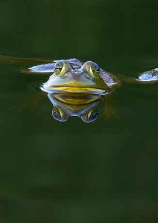 Green Floater Frog