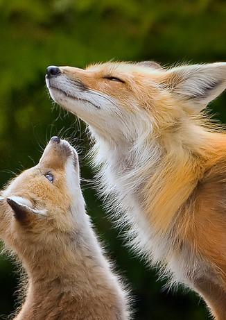 Kit Fox Admiring Mom