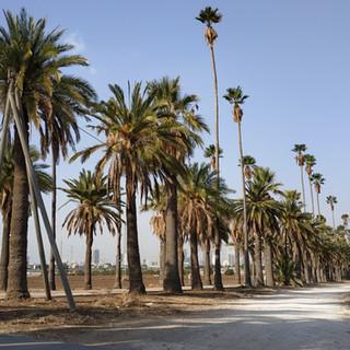 L'allée des palmiers, symbole de Mikvé Israël, est encore pour quelques-uns le chemin des écoliers, ceux qui entrent par la porte historique de la route de Jaffa.