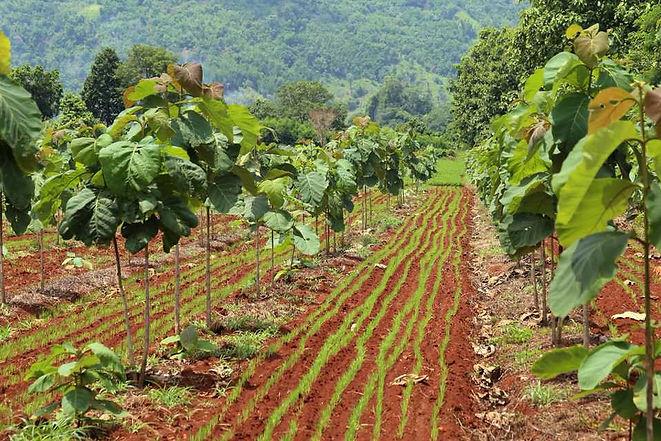 Optimizing a teak plantation and individual log monitoring.