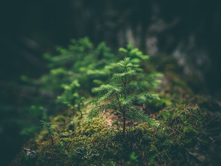 Managing forest for carbon impact