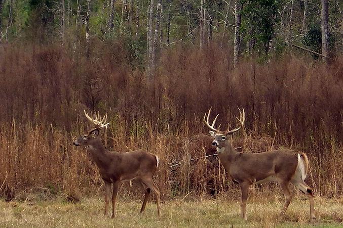 Whitetail Deer Hunting in Florida