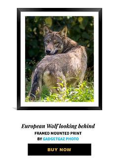 17 European Wolf looking behind.jpg