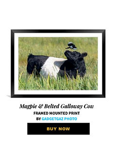 57 Magpie & Belted Galloway Cow.jpg