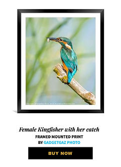 19 Female Kingfisher with her catch.jpg
