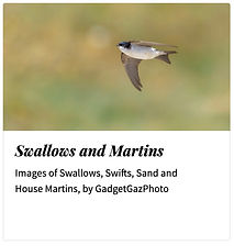 03_Swallows Martins.jpg