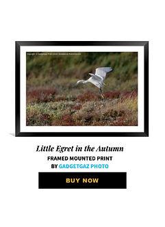 74 Little Egret Autumn.jpg