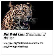 12_Big Cats zoo animals.jpg