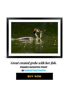 51 Great crested grebe with her fish.jpg