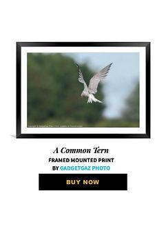 43 A Common Tern.jpg