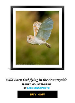 05 Wild Barn Owl flying in the Countrysi