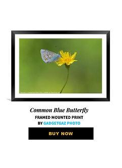 42 Common Blue Butterfly.jpg