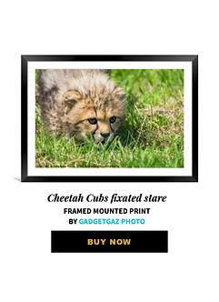 13 Cheetah Cubs fixated stare.jpg