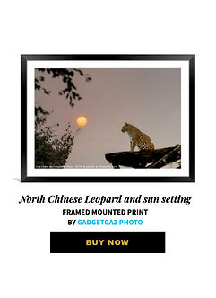 12 North Chinese Leopard and sun setting