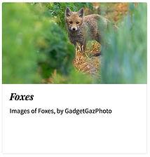 11_Foxes.jpg