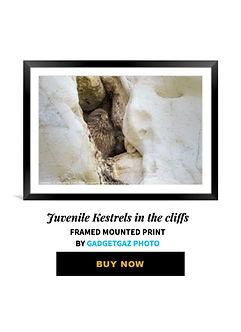 56 Juvenile Kestrels in the cliffs.jpg