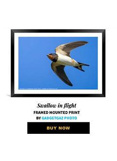 66 Swallow in flight.jpg