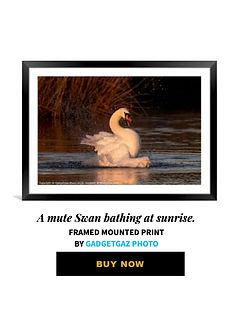 61 A mute Swan bathing at sunrise.jpg