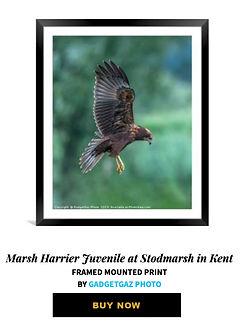 24 Marsh Harrier Juvenile at Stodmarsh i
