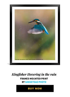 20 Kingfisher Hovering in the rain.jpg