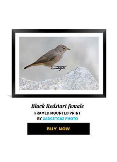 39 Black Redstart female.jpg