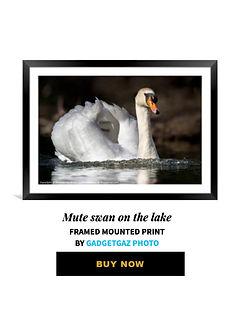 60 Mute swan on the lake.jpg