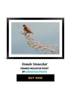 45 Female Stonechat.jpg