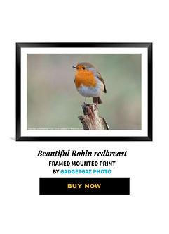 63 Beautiful Robin redbreast.jpg