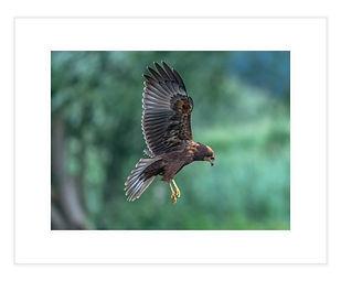 Marsh Harrier print 16x12