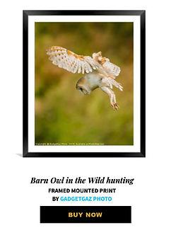 04 Barn Owl in the Wild hunting.jpg